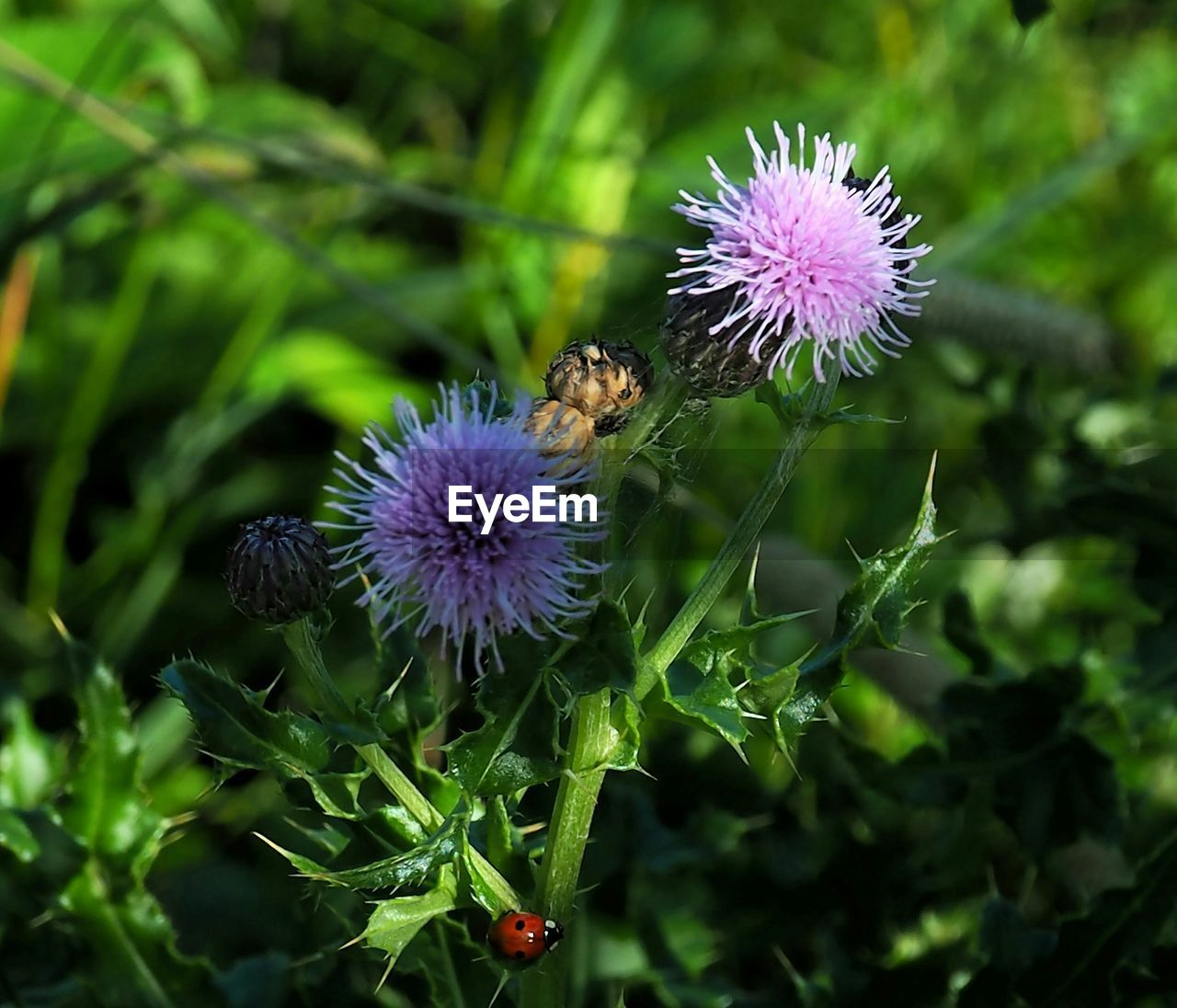 Close-up of thistle flowers and bud growing in park