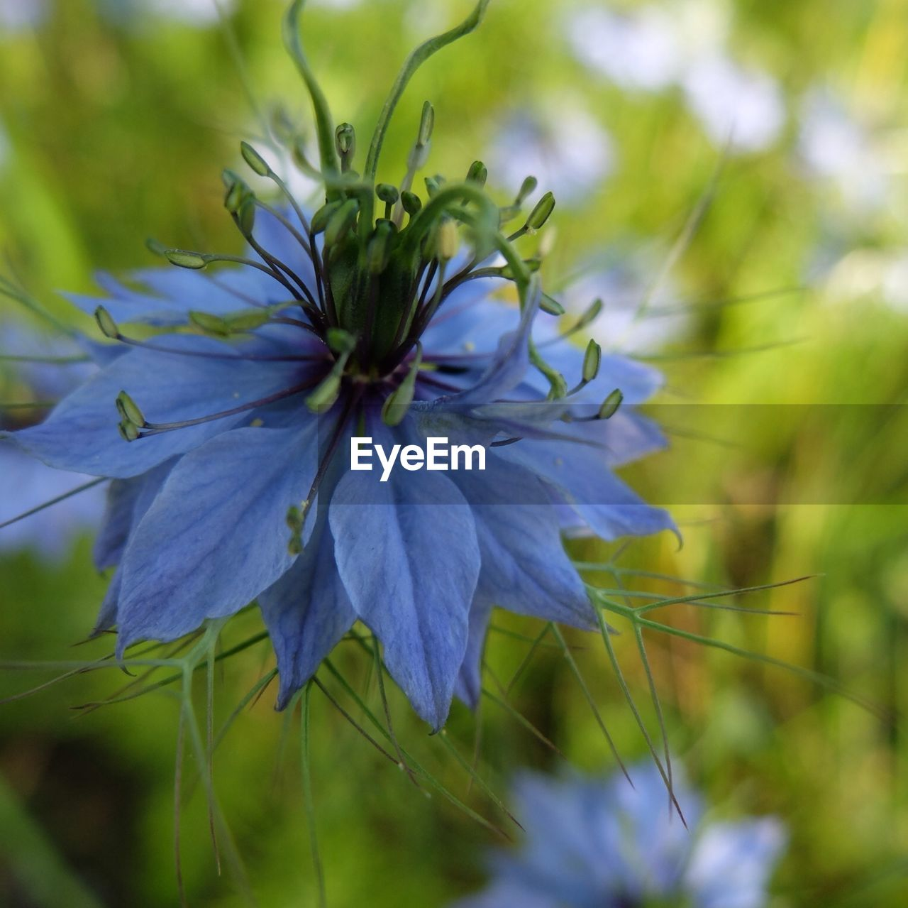 Blue flower in blossom
