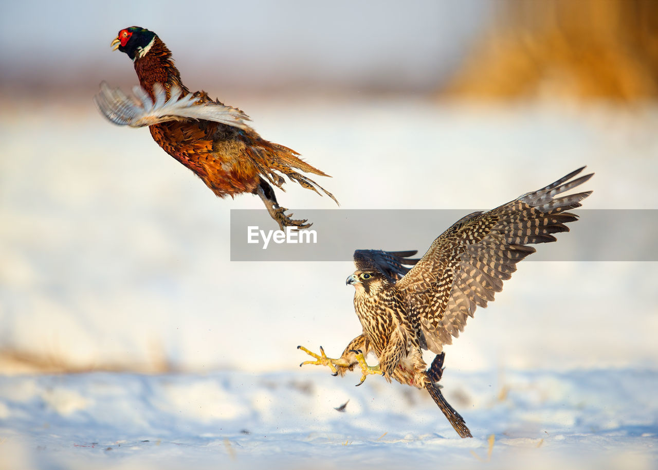 Peregrine Falcon Chasing Pheasant In The Snow