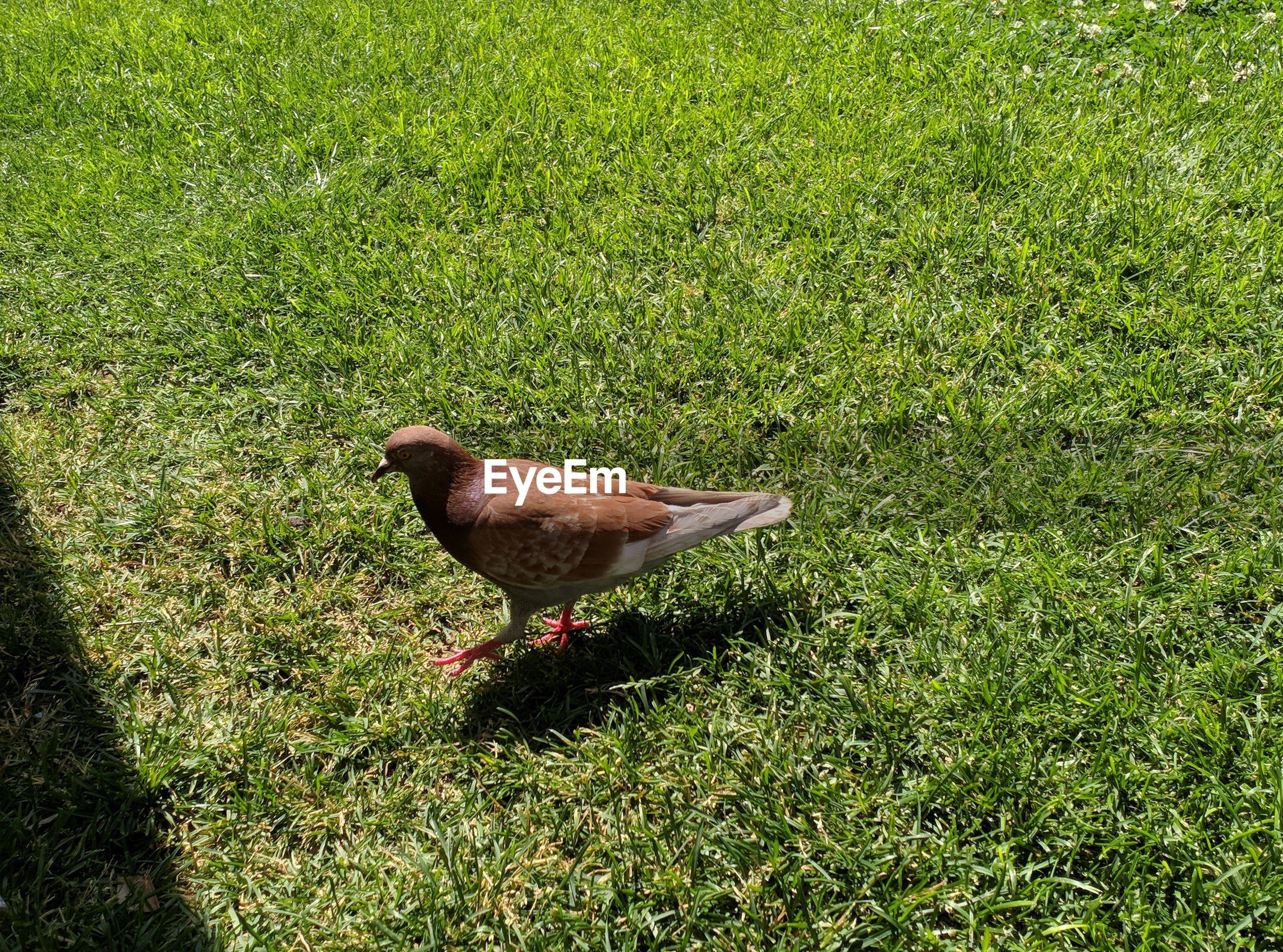 HIGH ANGLE VIEW OF BIRD ON GRASS FIELD