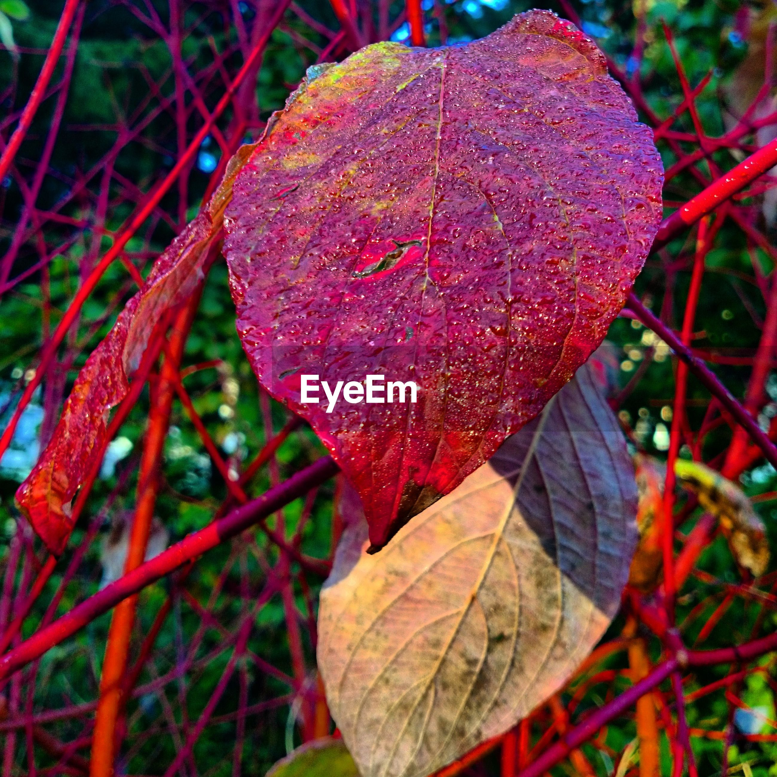 leaf, close-up, red, focus on foreground, growth, nature, autumn, season, change, beauty in nature, leaf vein, tranquility, plant, day, forest, fragility, outdoors, fungus, natural pattern, no people