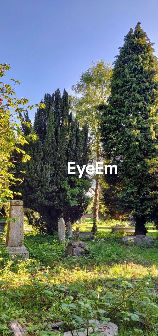 plant, tree, growth, nature, sky, tranquility, no people, beauty in nature, tranquil scene, day, clear sky, green color, grass, sunlight, land, outdoors, scenics - nature, field, in a row, cemetery