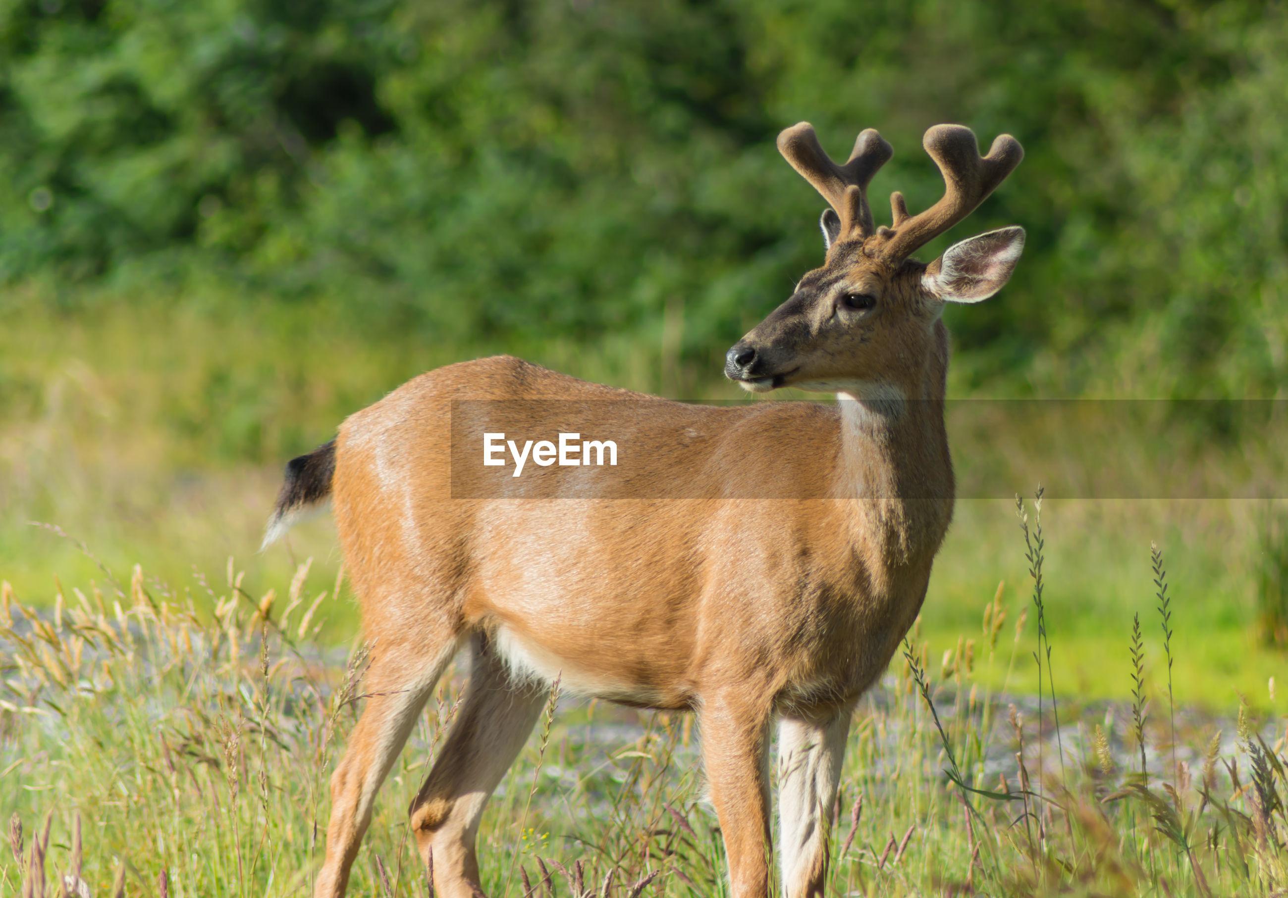 Deer on grassy field