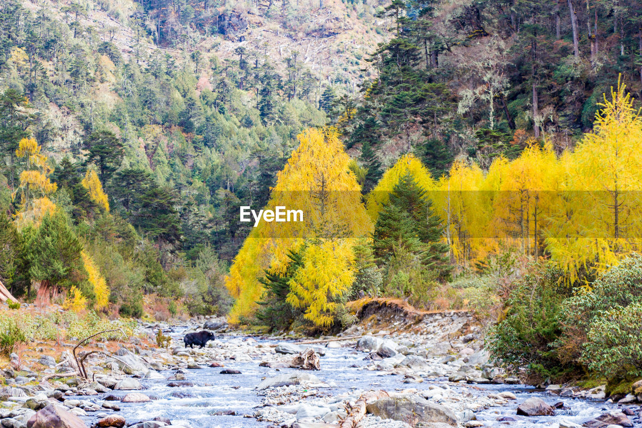 tree, forest, plant, nature, yellow, autumn, land, day, beauty in nature, no people, woodland, scenics - nature, environment, landscape, mountain, outdoors, pine tree, water, rock, pine woodland, evergreen tree, stream - flowing water, change