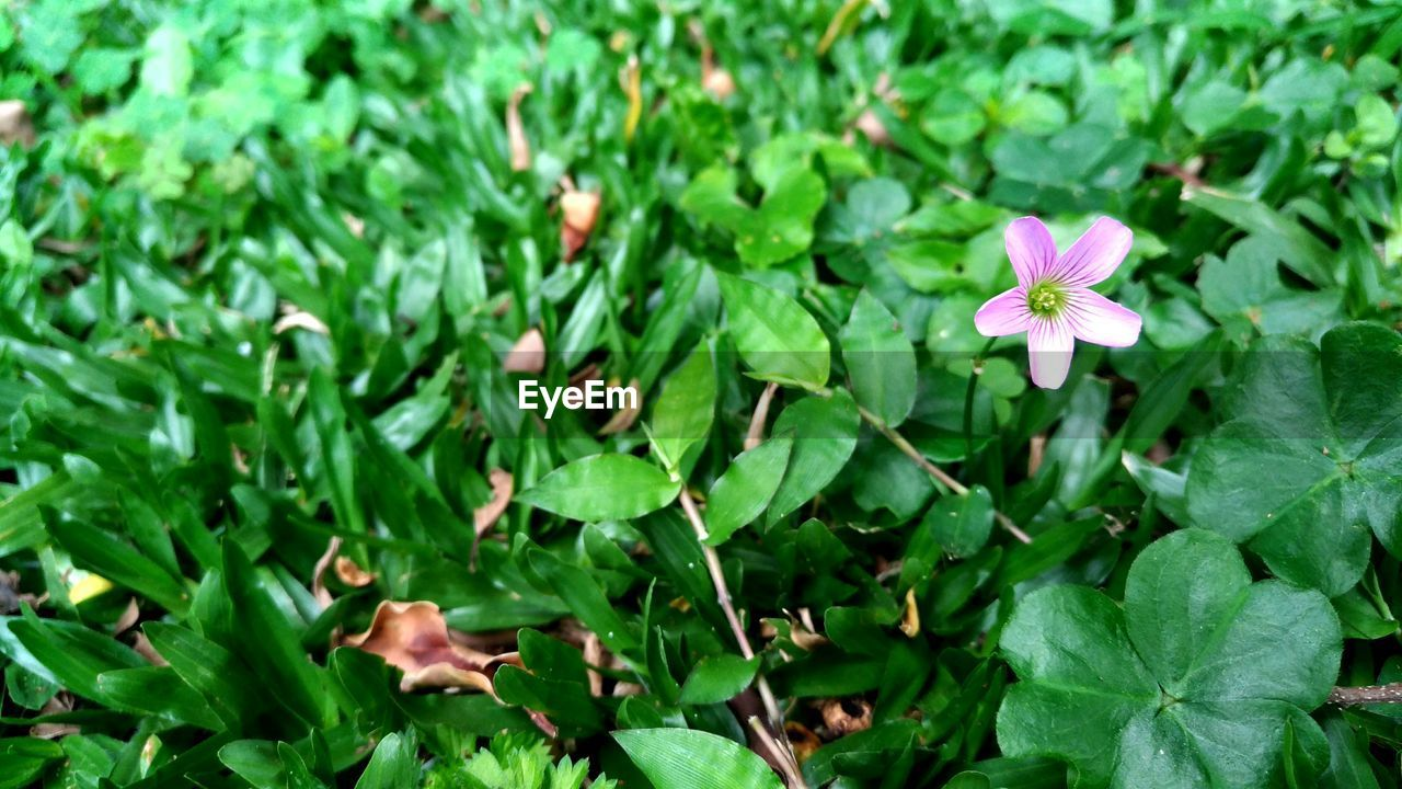 flower, leaf, green color, growth, petal, fragility, plant, beauty in nature, nature, freshness, flower head, blooming, no people, day, outdoors, close-up, periwinkle