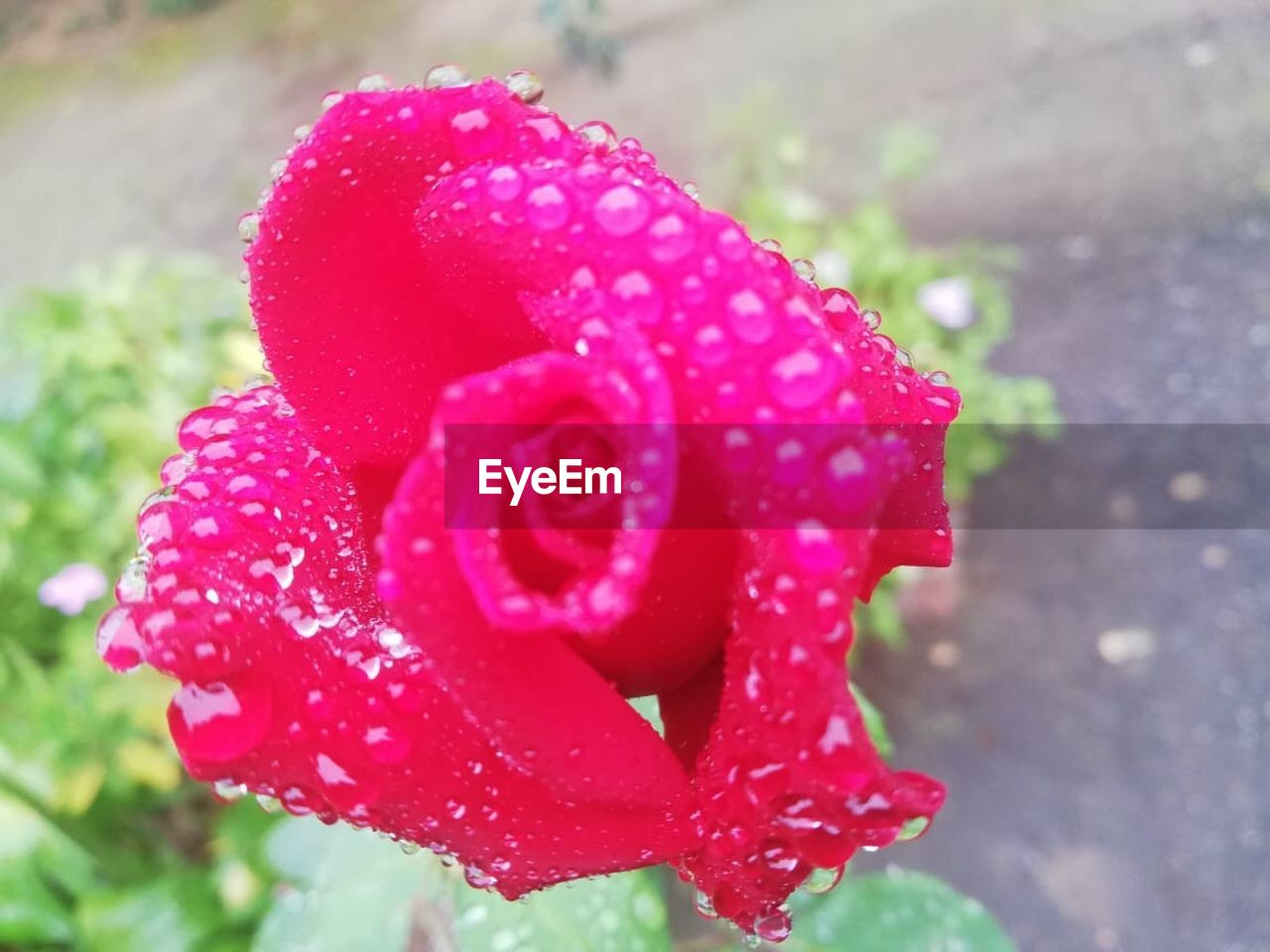 close-up, plant, growth, freshness, beauty in nature, flowering plant, water, fragility, flower, drop, wet, vulnerability, nature, petal, inflorescence, red, flower head, no people, day, pink color, outdoors, rain, dew, purity, raindrop