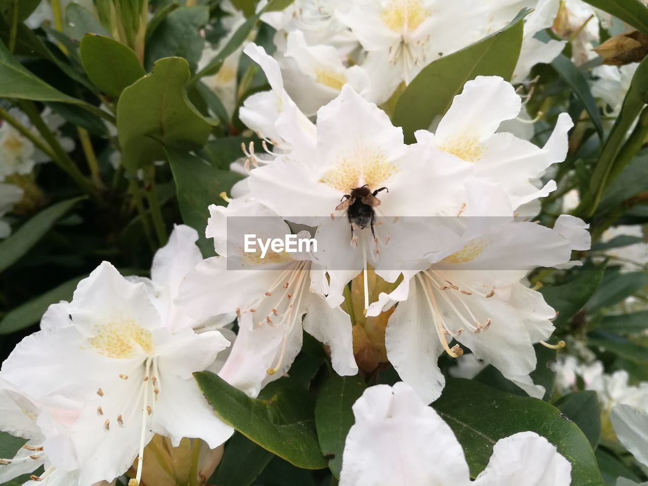flower, white color, petal, fragility, one animal, freshness, beauty in nature, nature, insect, animal themes, flower head, growth, no people, pollen, animals in the wild, plant, day, leaf, close-up, blooming, bee, outdoors, pollination
