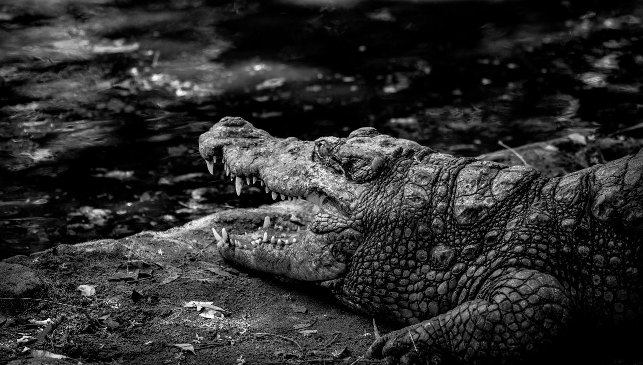 animal, crocodile, animal themes, reptile, animals in the wild, animal wildlife, one animal, animal body part, water, nature, no people, vertebrate, focus on foreground, day, close-up, alligator, rock, animal head, mouth, mouth open, outdoors, animal teeth