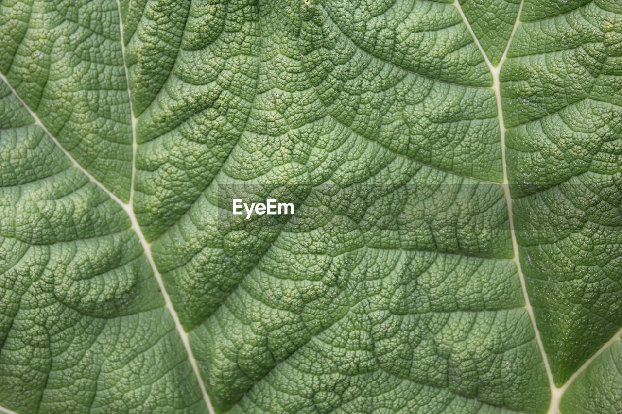 leaf, plant part, leaf vein, green color, close-up, full frame, backgrounds, plant, no people, nature, growth, day, beauty in nature, pattern, outdoors, natural pattern, textured, tree, botany, freshness