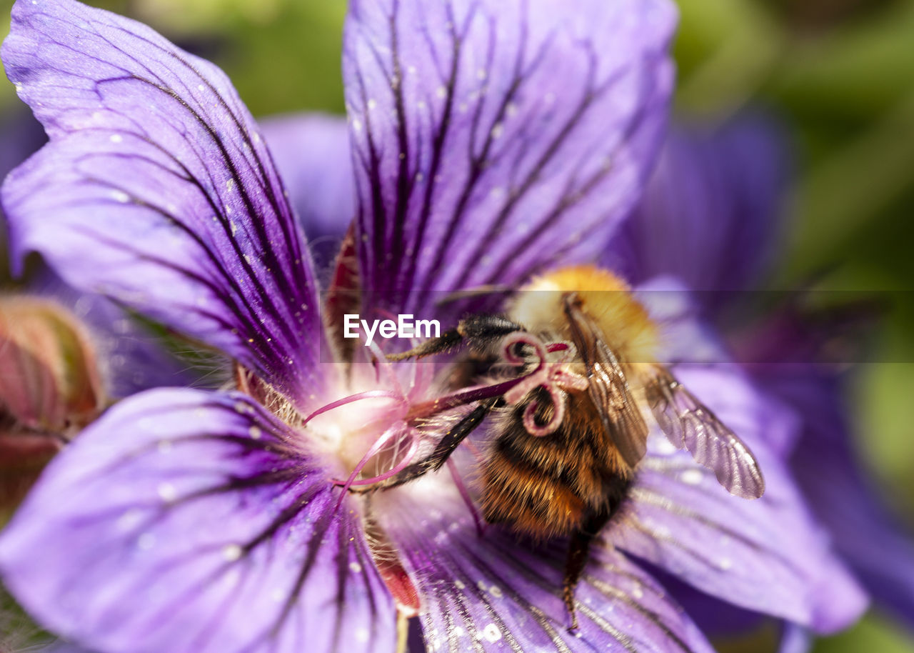flowering plant, flower, beauty in nature, plant, animal themes, flower head, animal, fragility, vulnerability, petal, close-up, bee, animals in the wild, purple, freshness, growth, insect, animal wildlife, invertebrate, inflorescence, pollination, pollen, no people, outdoors, bumblebee