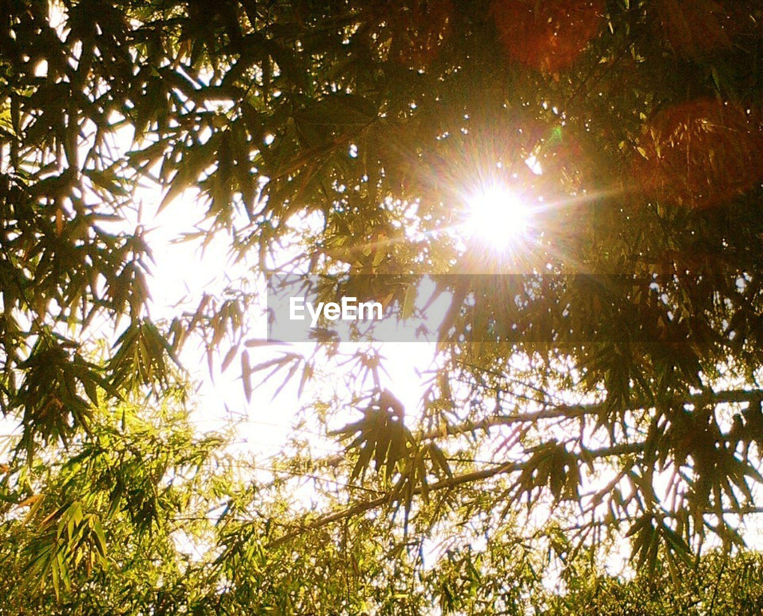 sun, tree, sunbeam, low angle view, sunlight, lens flare, growth, branch, tranquility, nature, beauty in nature, sunny, bright, forest, scenics, back lit, tranquil scene, outdoors, day, full frame