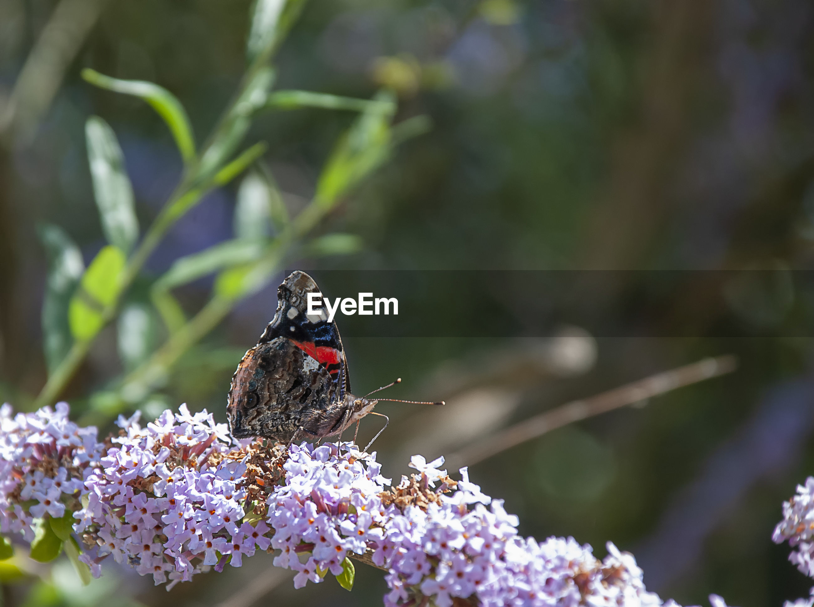 CLOSE-UP OF BUTTERFLY POLLINATING ON PURPLE FLOWERING PLANT