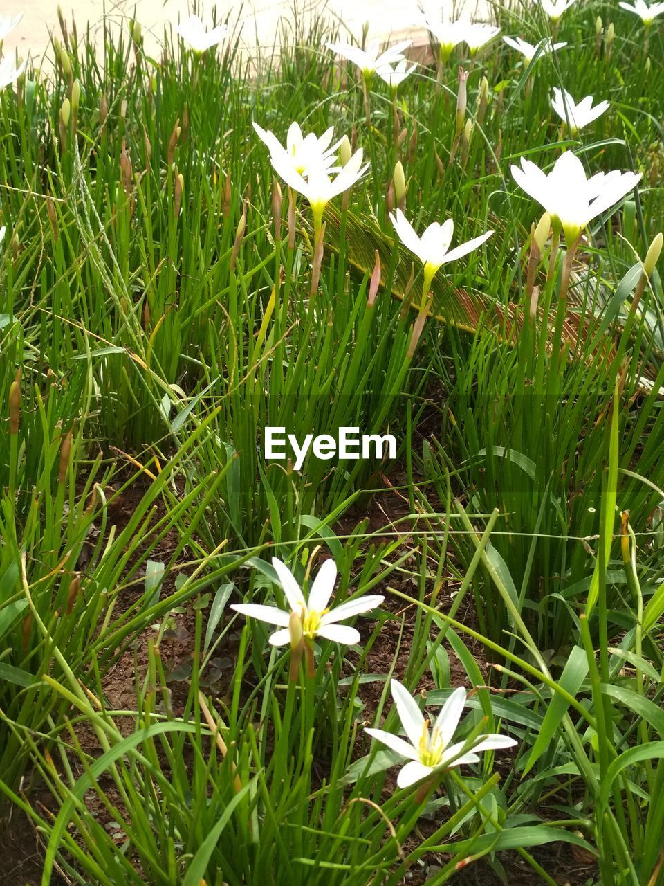 plant, flower, flowering plant, growth, beauty in nature, fragility, vulnerability, freshness, petal, white color, flower head, nature, inflorescence, field, green color, land, close-up, grass, no people, day, springtime, blade of grass