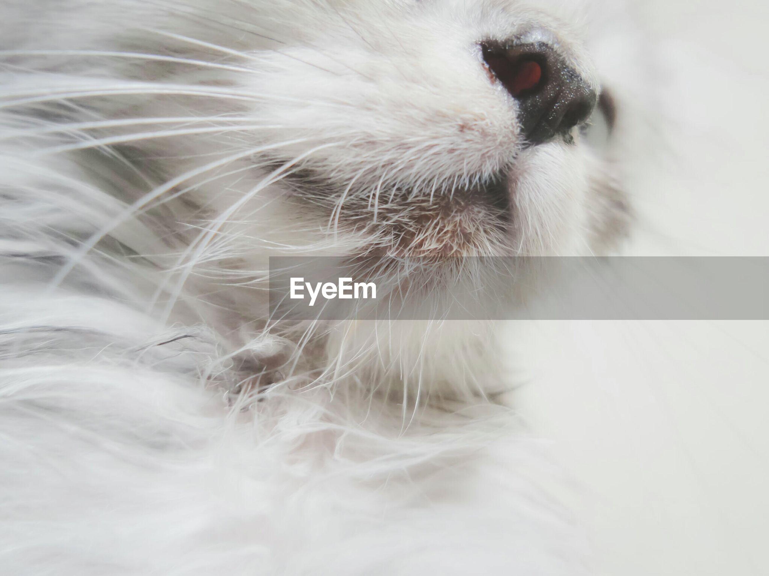 Close-up of white kitten