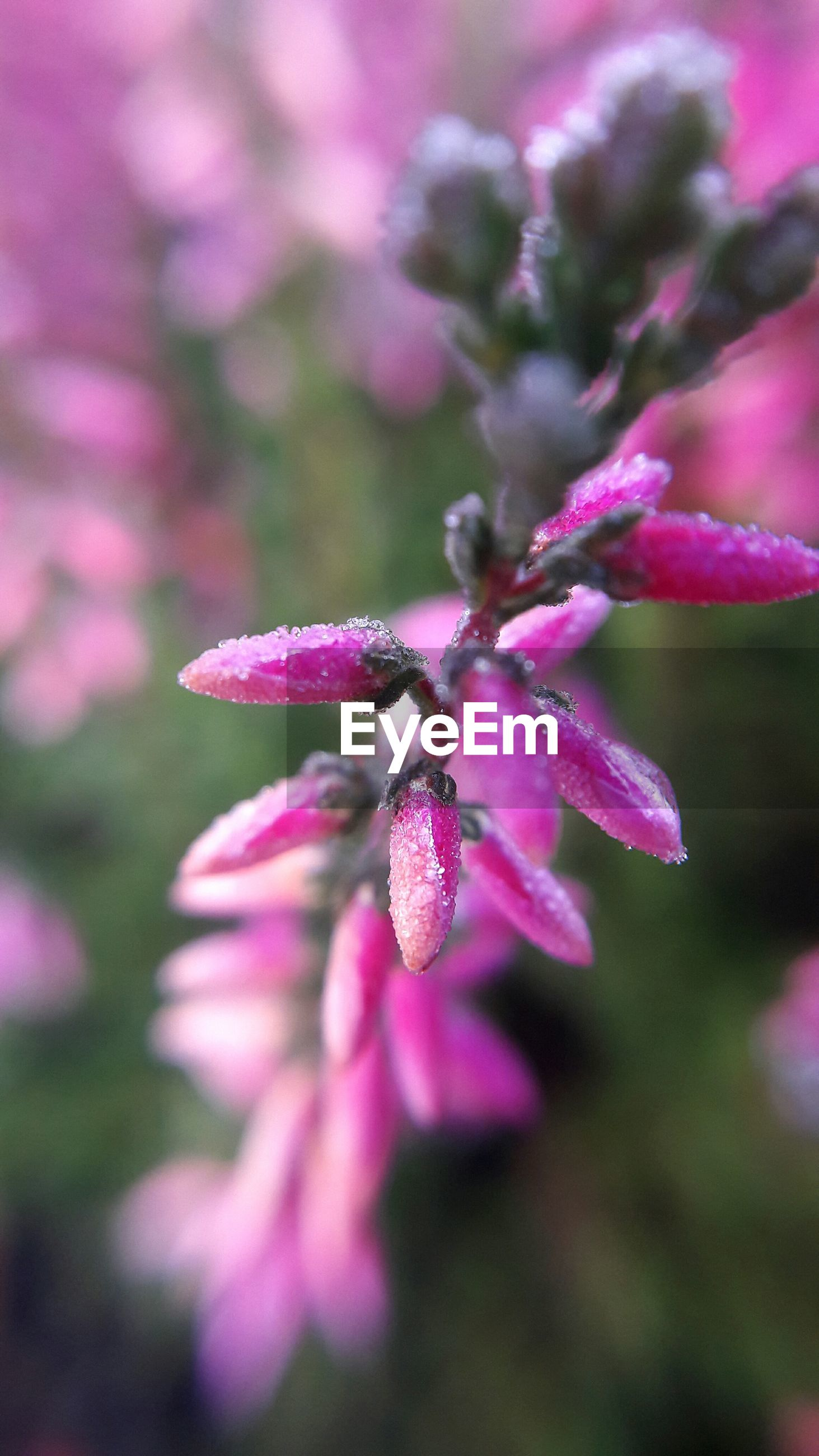 flower, growth, nature, beauty in nature, fragility, freshness, close-up, petal, focus on foreground, pink color, no people, flower head, blooming, outdoors, day