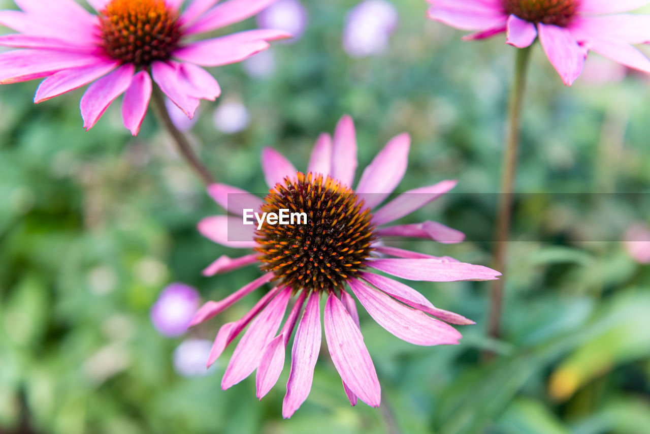 flower, fragility, petal, freshness, beauty in nature, flower head, nature, eastern purple coneflower, purple, growth, focus on foreground, blooming, pollen, coneflower, day, pink color, outdoors, plant, close-up, no people, osteospermum