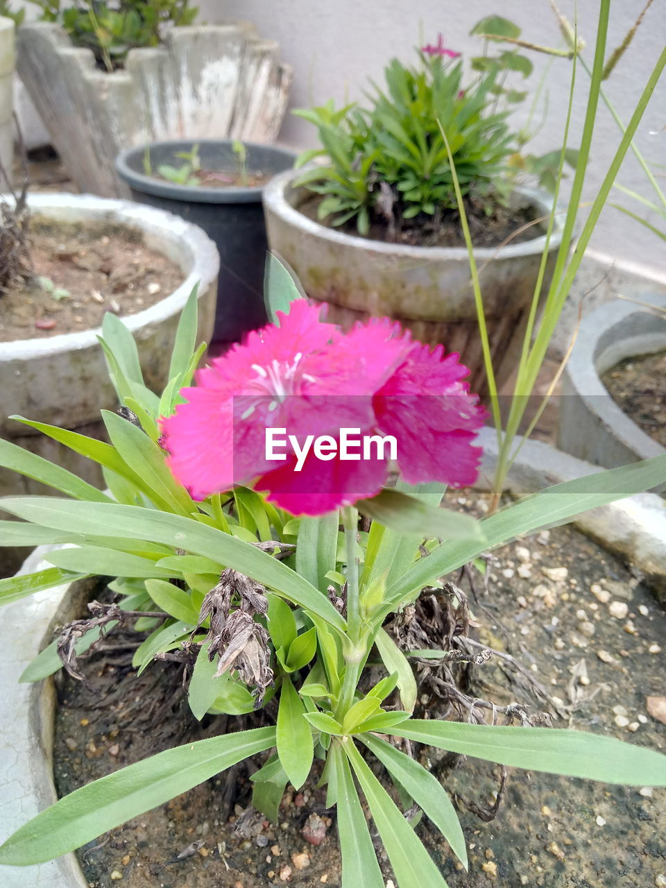 plant, flowering plant, flower, pink color, growth, beauty in nature, freshness, close-up, vulnerability, fragility, petal, potted plant, nature, plant part, leaf, inflorescence, flower head, high angle view, no people, day, flower pot