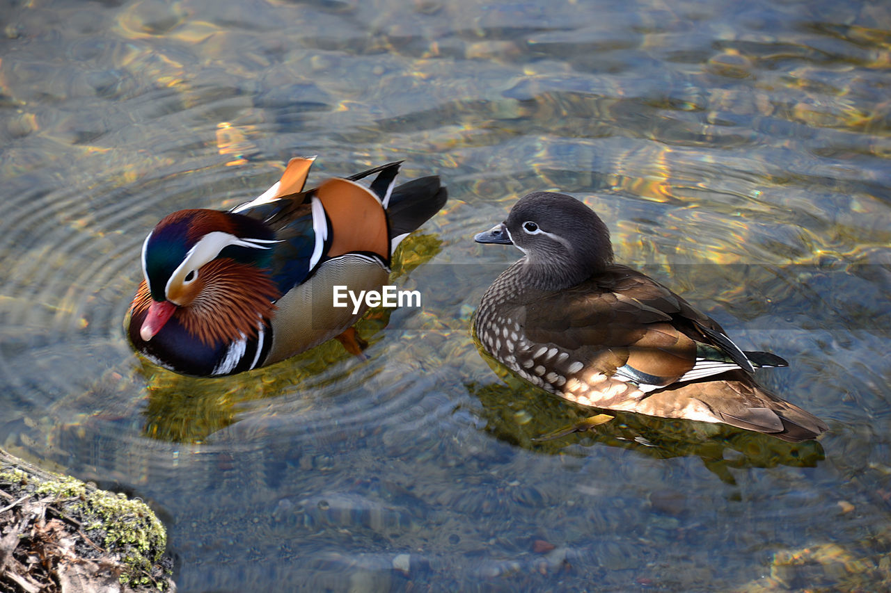 animal wildlife, animal themes, animal, bird, animals in the wild, vertebrate, mandarin duck, water, duck, poultry, group of animals, lake, waterfront, swimming, two animals, nature, no people, day, male animal