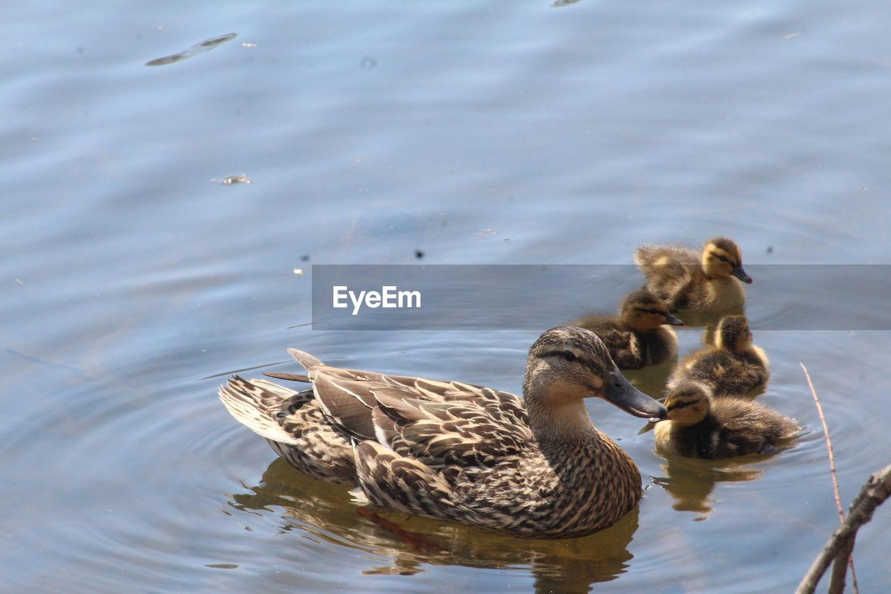 animal wildlife, animal themes, water, animal, animals in the wild, group of animals, vertebrate, lake, bird, swimming, young animal, waterfront, two animals, duck, young bird, water bird, nature, female animal, no people, animal family, outdoors, gosling