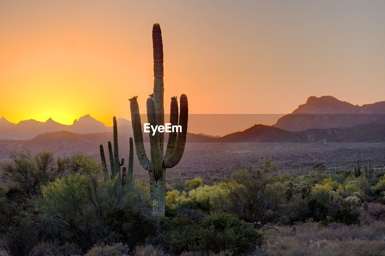 Saguaro cactus and trees growing on field against sky during sunset