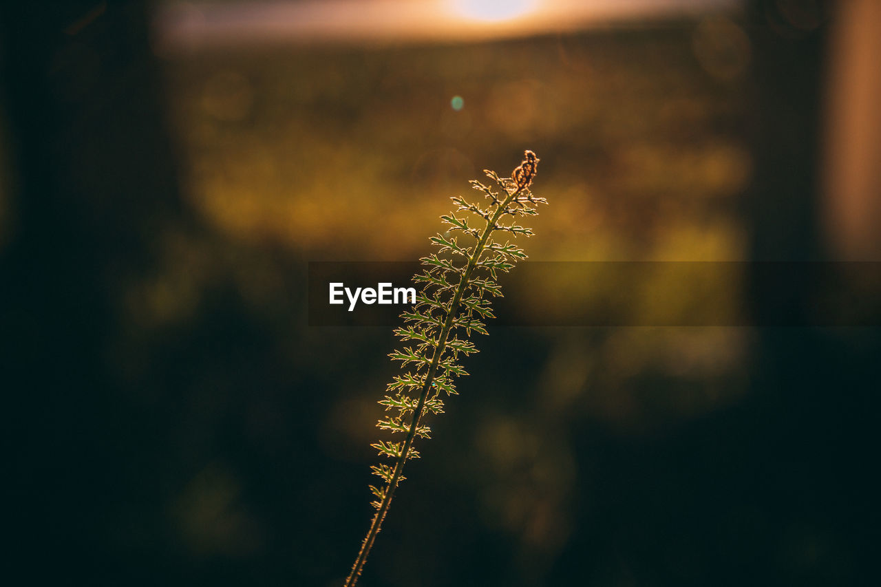 focus on foreground, beauty in nature, plant, growth, nature, close-up, no people, day, outdoors, tranquility, selective focus, fragility, vulnerability, sunset, plant stem, pussy willow, twig, sunlight, tree, green color