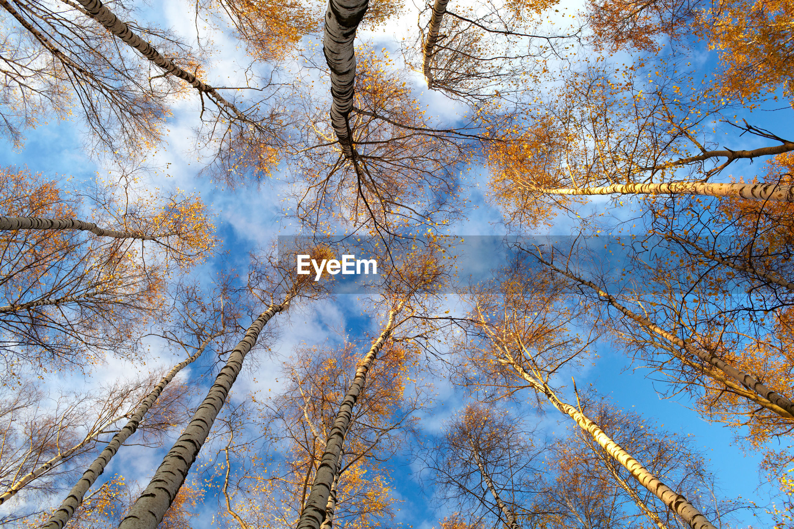 Directly below shot birch trees in forest against sky