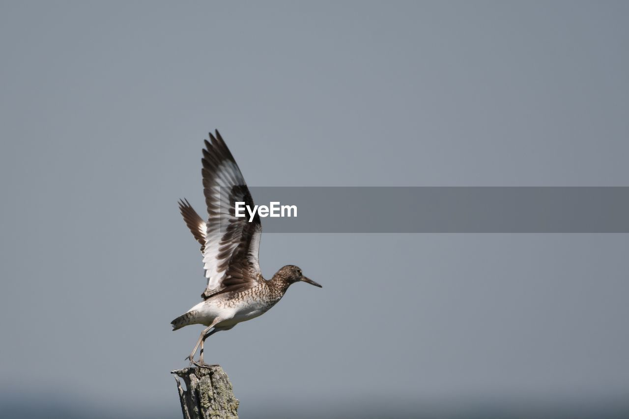 bird, animal wildlife, vertebrate, animals in the wild, animal, animal themes, flying, spread wings, one animal, copy space, sky, nature, no people, clear sky, day, seagull, mid-air, motion, outdoors, low angle view, flapping