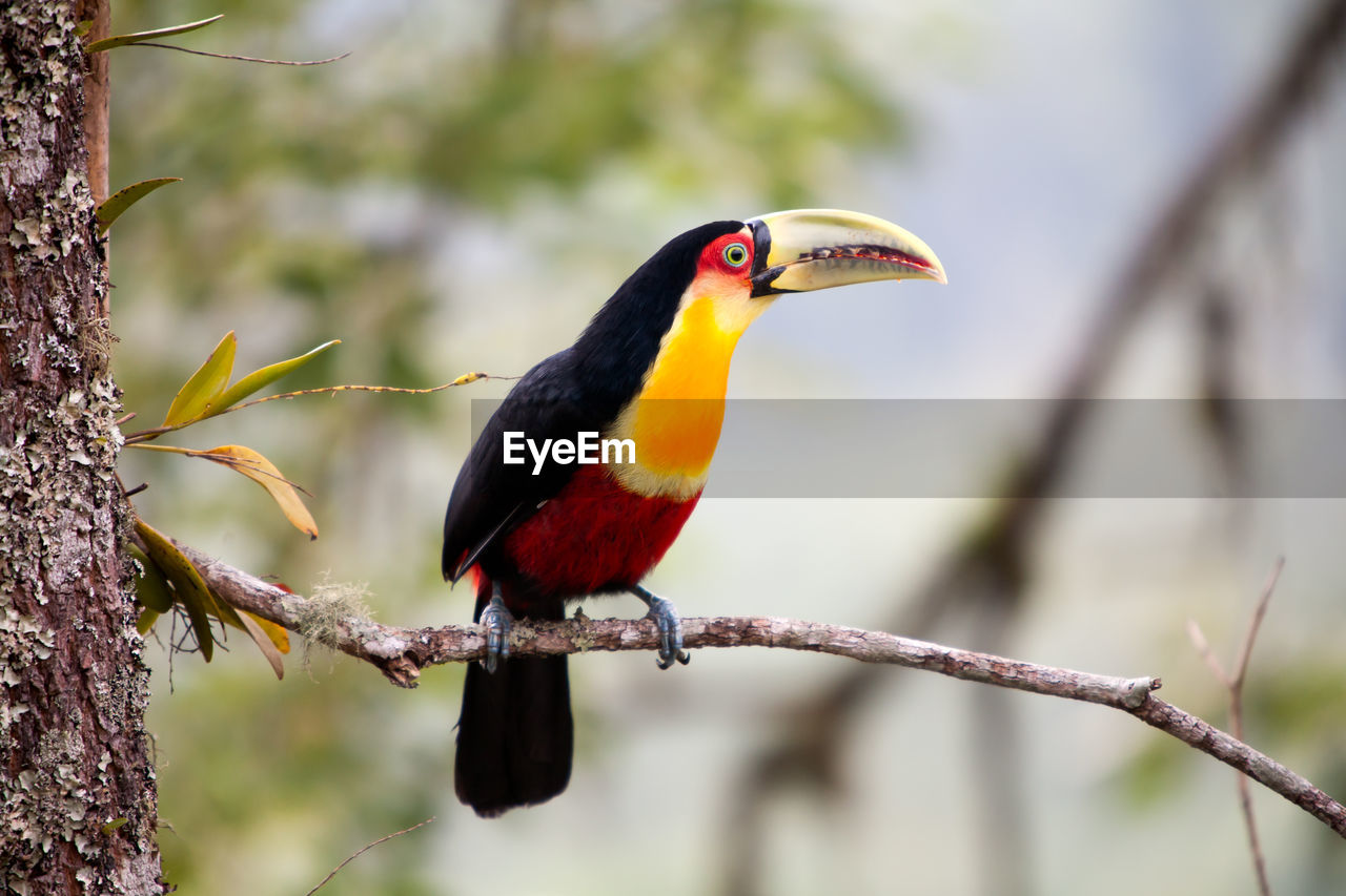 animal themes, vertebrate, animal, bird, animal wildlife, one animal, perching, animals in the wild, branch, focus on foreground, tree, no people, plant, beak, nature, day, kingfisher, outdoors, close-up, looking away