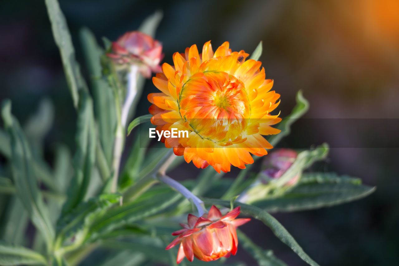 CLOSE-UP OF ORANGE MARIGOLD FLOWER BLOOMING OUTDOORS