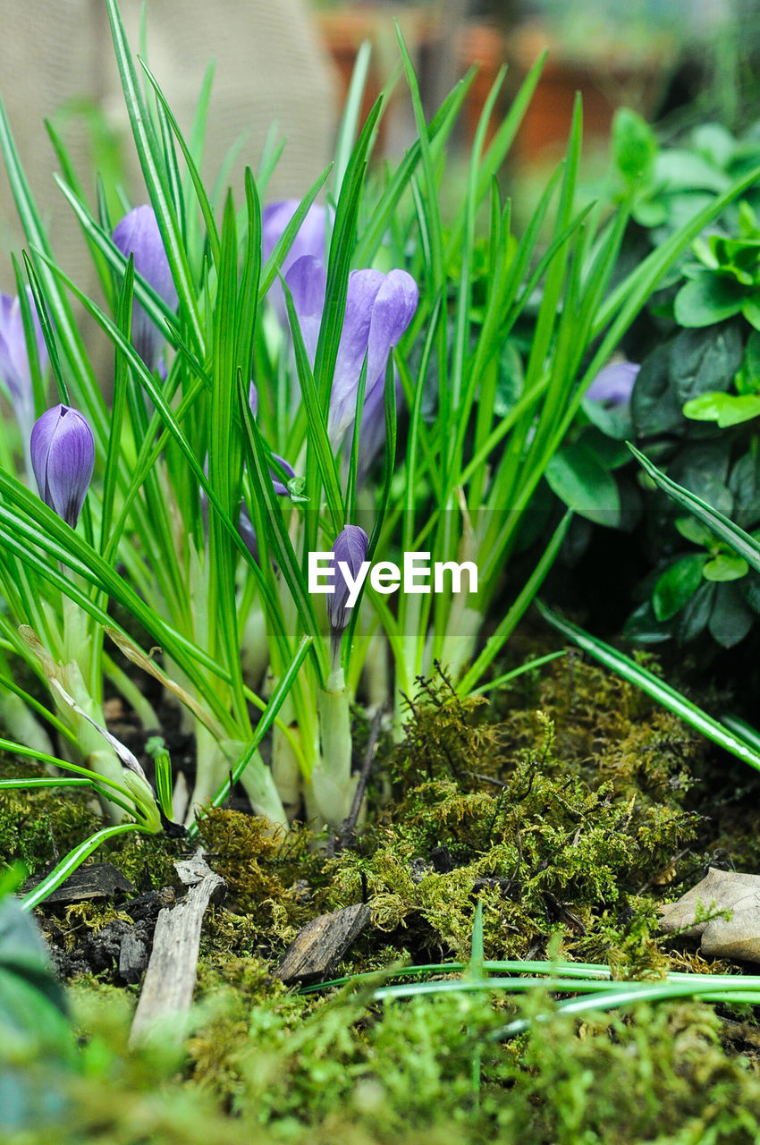 flower, growth, nature, fragility, freshness, beauty in nature, petal, plant, purple, green color, snowdrop, crocus, blooming, close-up, flower head, day, outdoors, no people, grass
