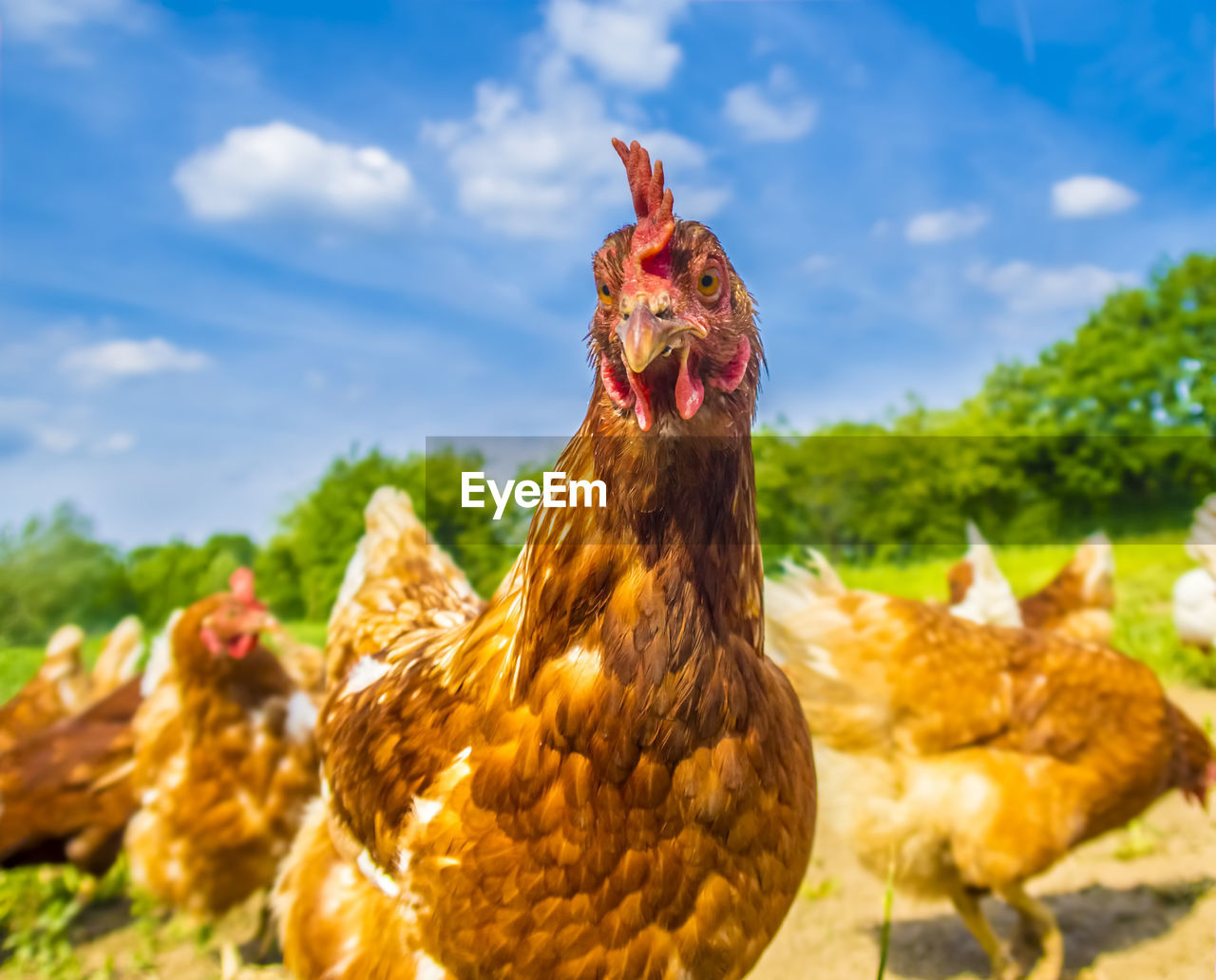 animal themes, chicken, animal, livestock, domestic animals, chicken - bird, mammal, domestic, pets, focus on foreground, bird, no people, sky, vertebrate, nature, group of animals, cloud - sky, day, field, outdoors, mouth open