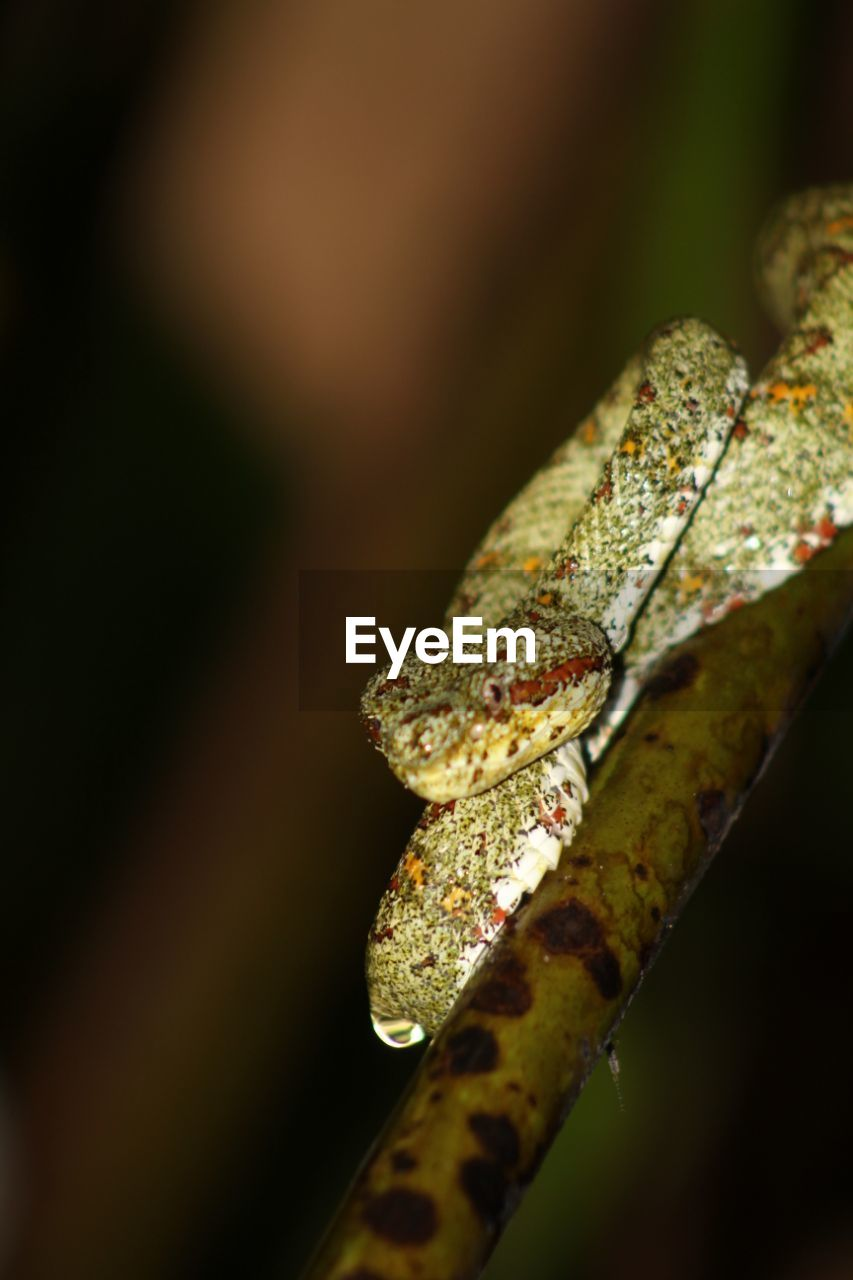 reptile, one animal, animals in the wild, animal themes, animal wildlife, close-up, nature, chameleon, day, no people, outdoors