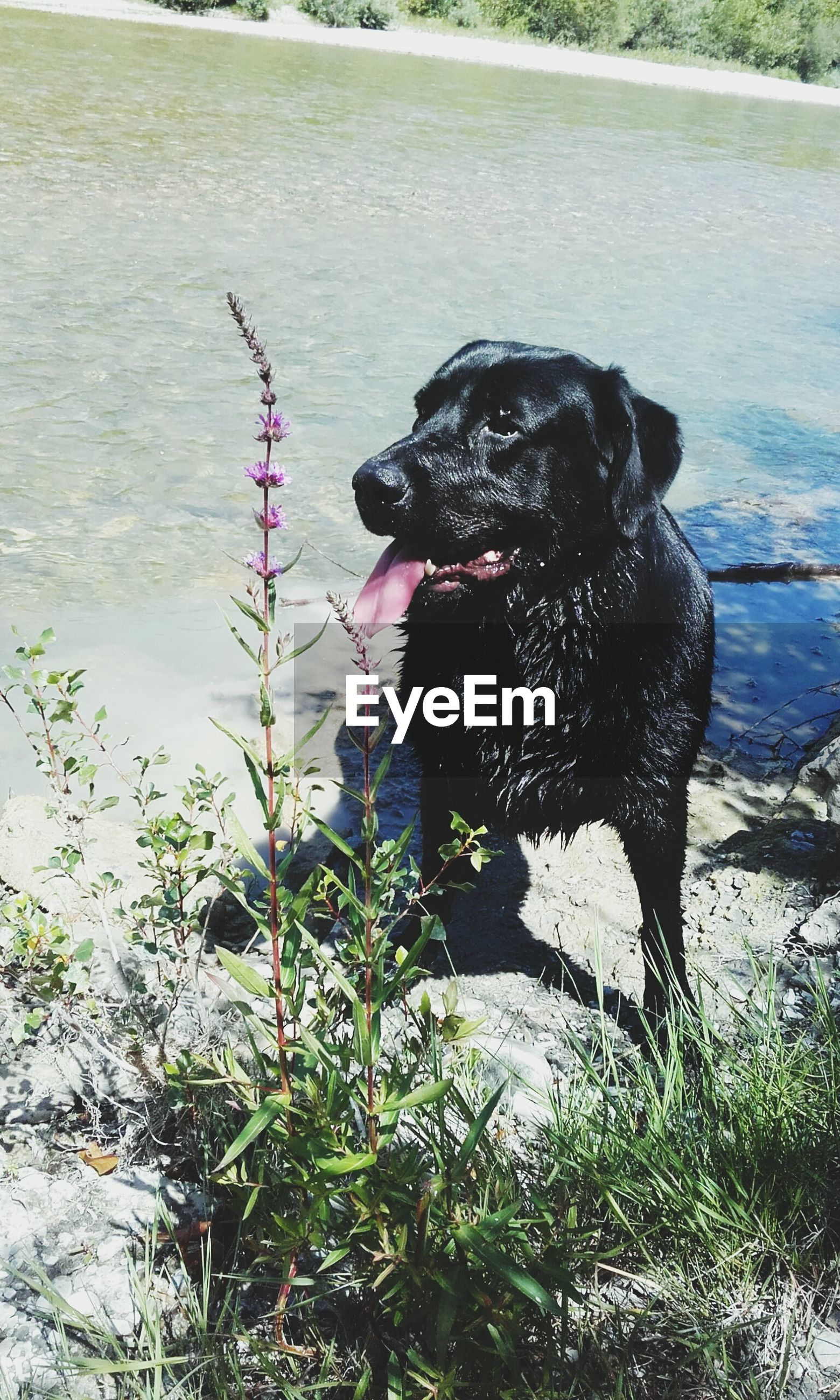 dog, pets, domestic animals, one animal, animal themes, mammal, water, black color, black labrador, outdoors, nature, day, labrador retriever, no people, sitting, sticking out tongue, panting, portrait, grass