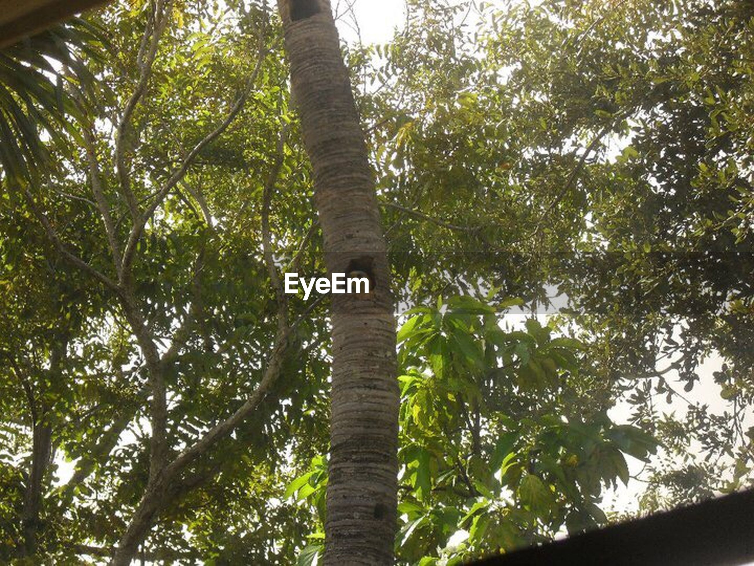 tree, low angle view, growth, tree trunk, branch, nature, green, green color, tranquility, day, sky, beauty in nature, tranquil scene, scenics, lush foliage, outdoors, tall - high, freshness, woodland, tall, non-urban scene, tree canopy, no people, full frame, woods, treetop