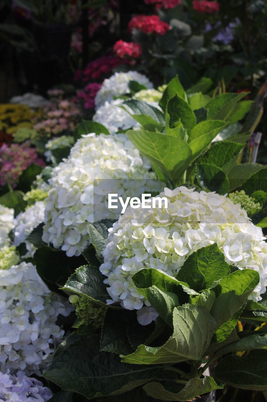 Close-up of white hydrangea flowers blooming outdoors