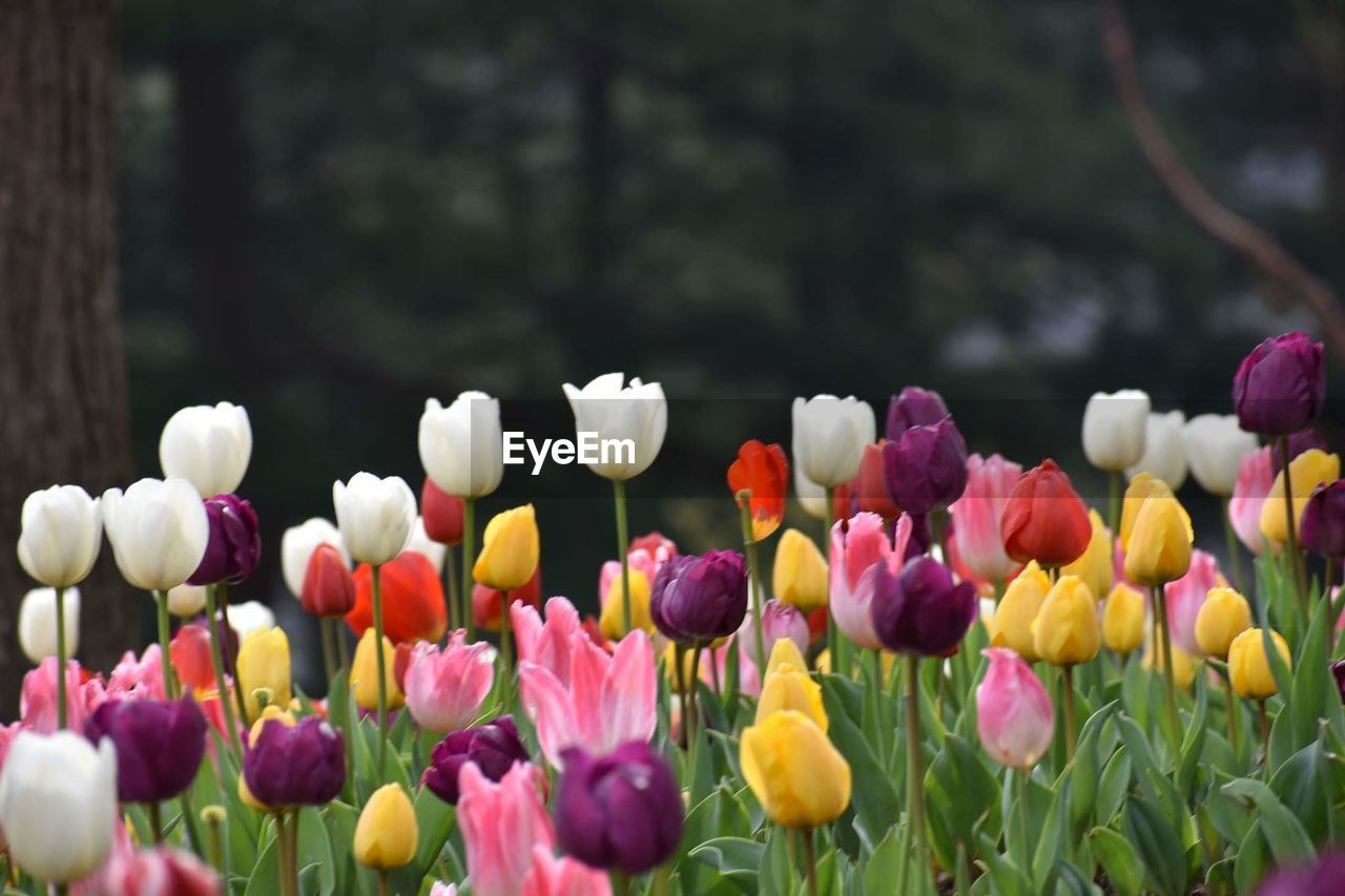 flowering plant, flower, plant, vulnerability, beauty in nature, fragility, freshness, growth, petal, flower head, inflorescence, close-up, tulip, nature, no people, day, yellow, pink color, multi colored, outdoors, purple, springtime, spring, flowerbed
