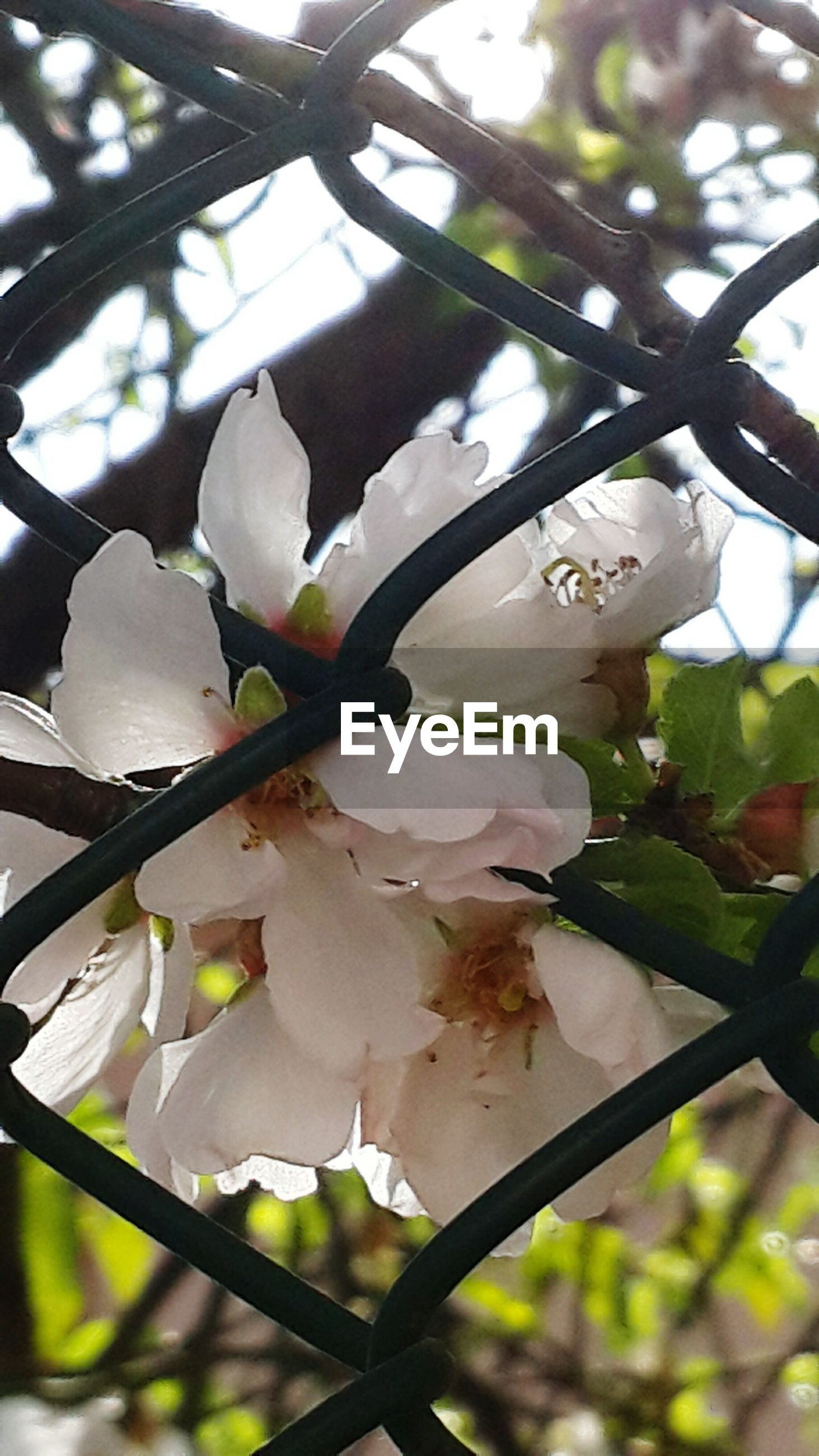 flower, freshness, growth, fragility, branch, petal, white color, low angle view, close-up, focus on foreground, nature, tree, beauty in nature, flower head, blooming, blossom, leaf, in bloom, twig, springtime