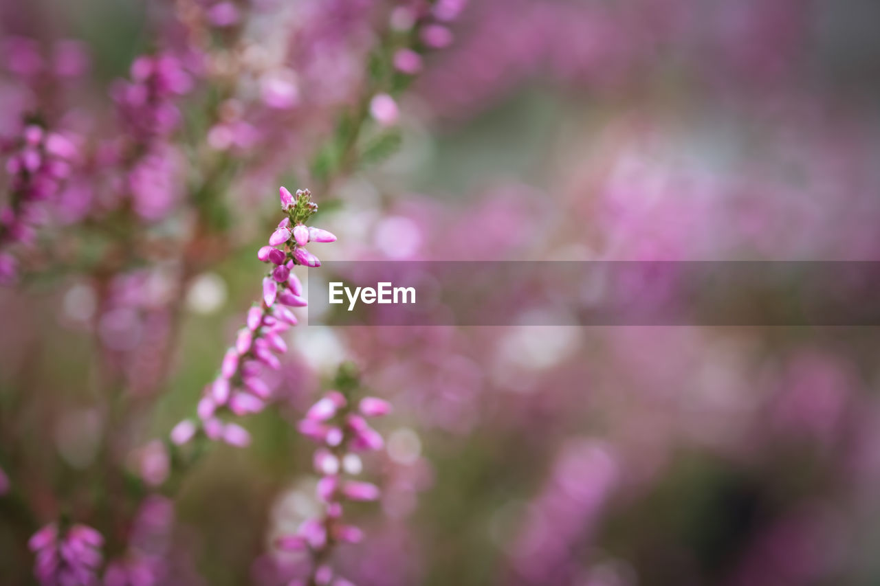 flower, flowering plant, plant, fragility, vulnerability, growth, beauty in nature, freshness, close-up, pink color, petal, selective focus, day, purple, nature, no people, invertebrate, focus on foreground, one animal, animal themes, flower head, springtime, outdoors