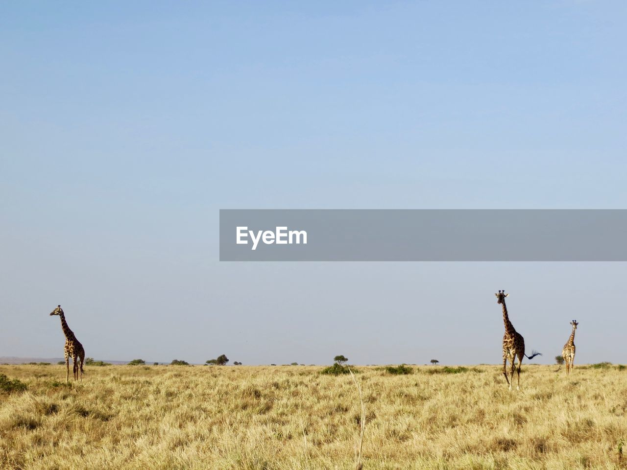 Scenic View Of Giraffes On Landscape Against Clear Sky