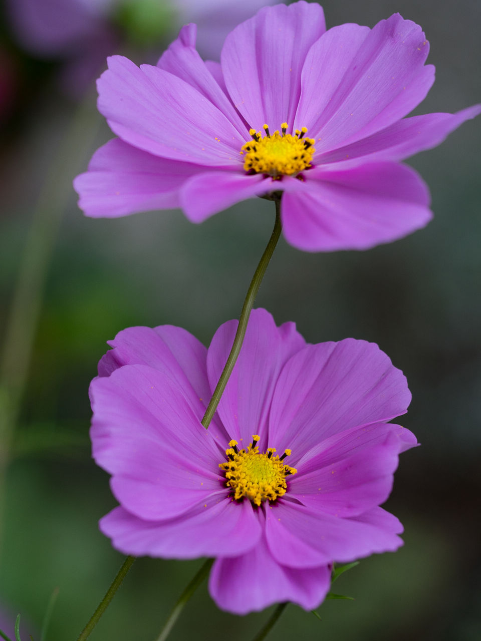 flower, flowering plant, fragility, petal, vulnerability, freshness, flower head, plant, beauty in nature, inflorescence, growth, close-up, pollen, cosmos flower, focus on foreground, nature, pink color, yellow, day, no people, purple