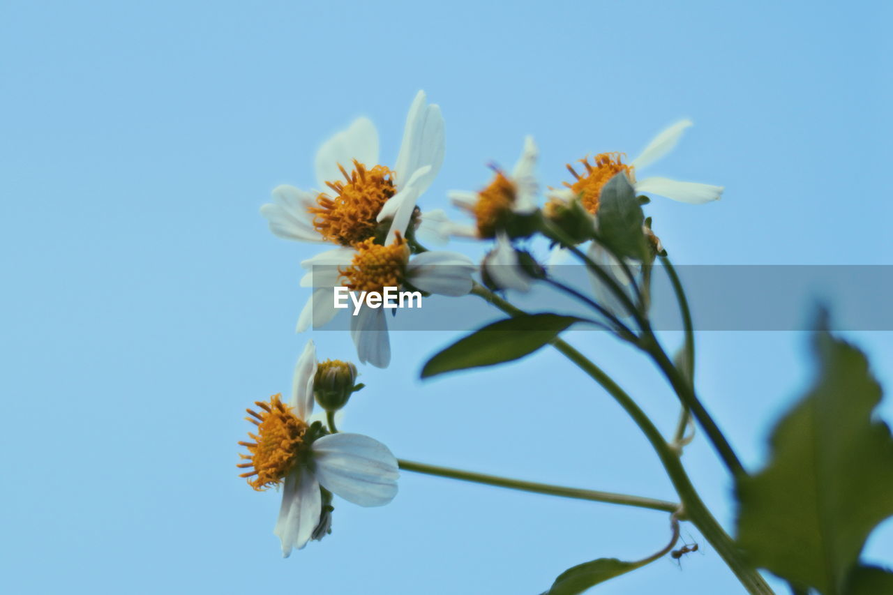 Close-up of white flowering plant against clear blue sky