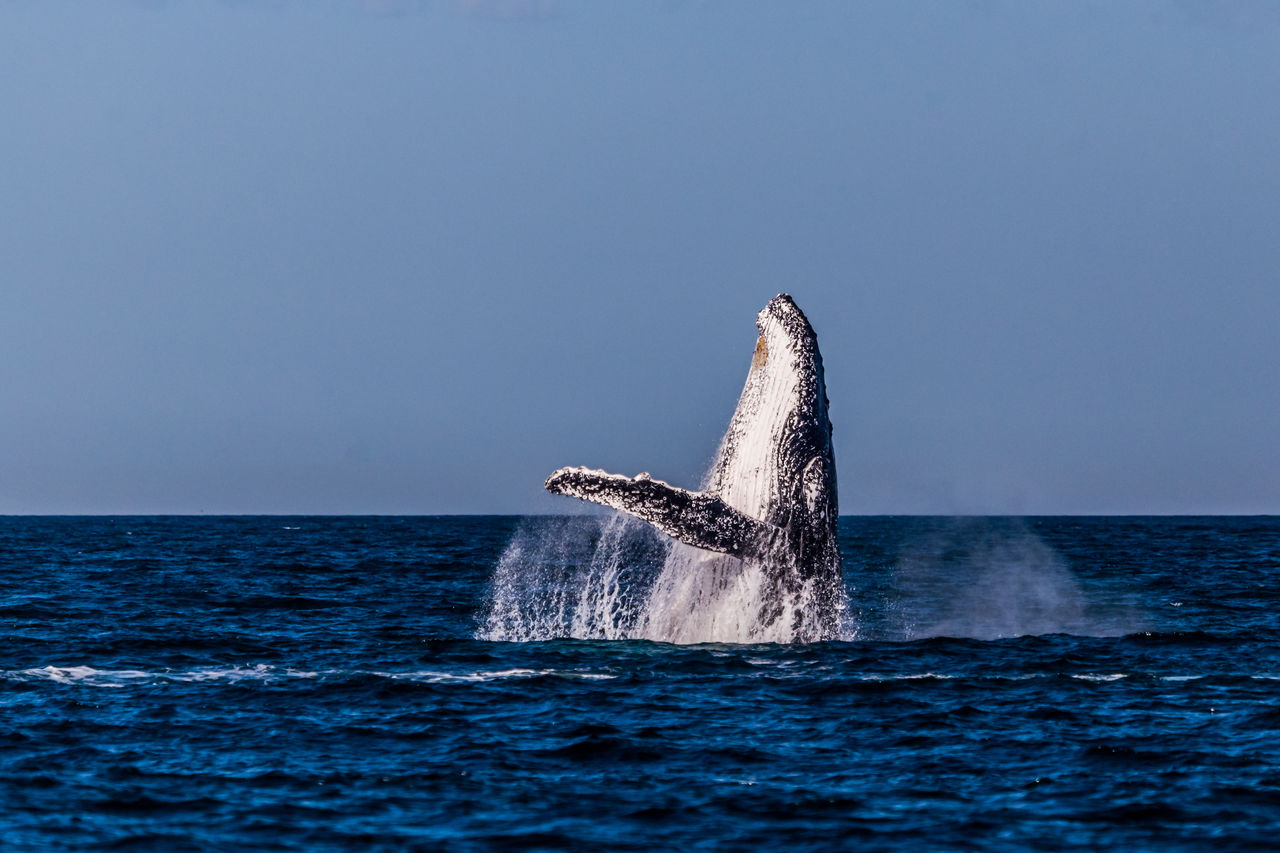 Whale swimming in sea against clear sky