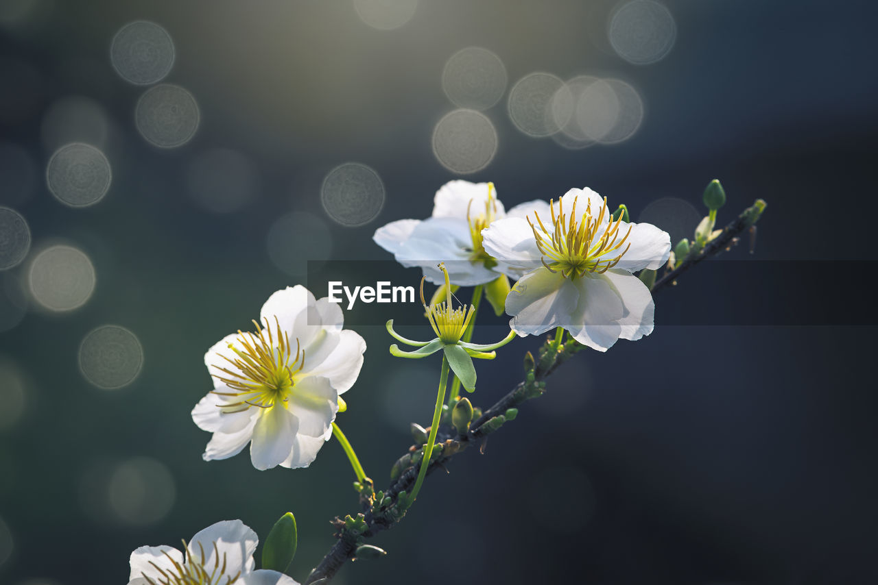 flowering plant, flower, freshness, vulnerability, fragility, plant, beauty in nature, growth, petal, white color, flower head, inflorescence, close-up, nature, no people, focus on foreground, day, outdoors, selective focus, botany, pollen