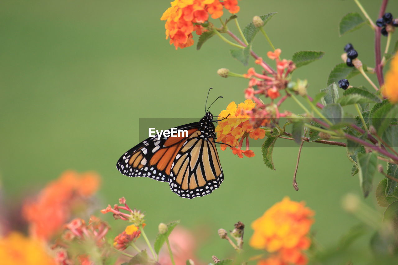 flower, animal wildlife, invertebrate, flowering plant, animal themes, insect, plant, beauty in nature, animals in the wild, butterfly - insect, animal, animal wing, fragility, vulnerability, one animal, orange color, growth, freshness, close-up, nature, no people, pollination, flower head, outdoors, lantana, butterfly