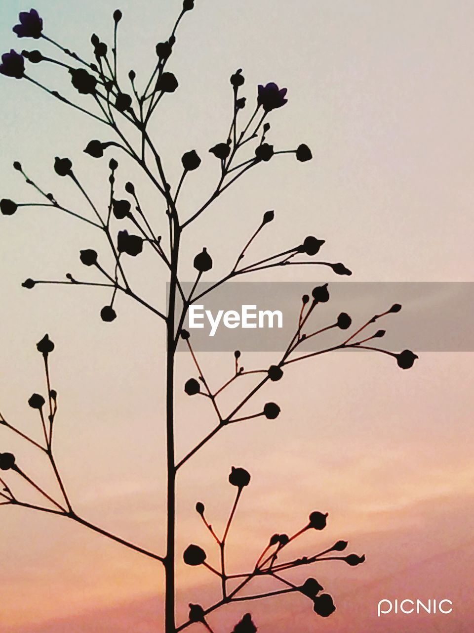 sunset, nature, outdoors, beauty in nature, tree, sky, branch, no people, growth, low angle view, day, flower, close-up, fragility