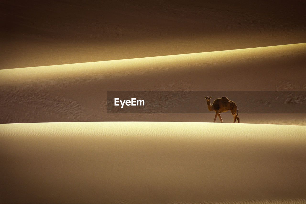 Camel On Sand Dune In Desert