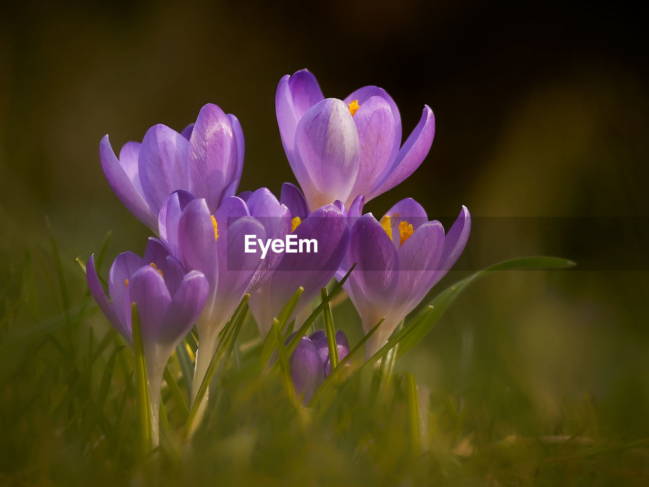 flower, flowering plant, plant, beauty in nature, freshness, vulnerability, fragility, petal, purple, close-up, growth, nature, no people, selective focus, field, land, crocus, flower head, inflorescence, iris