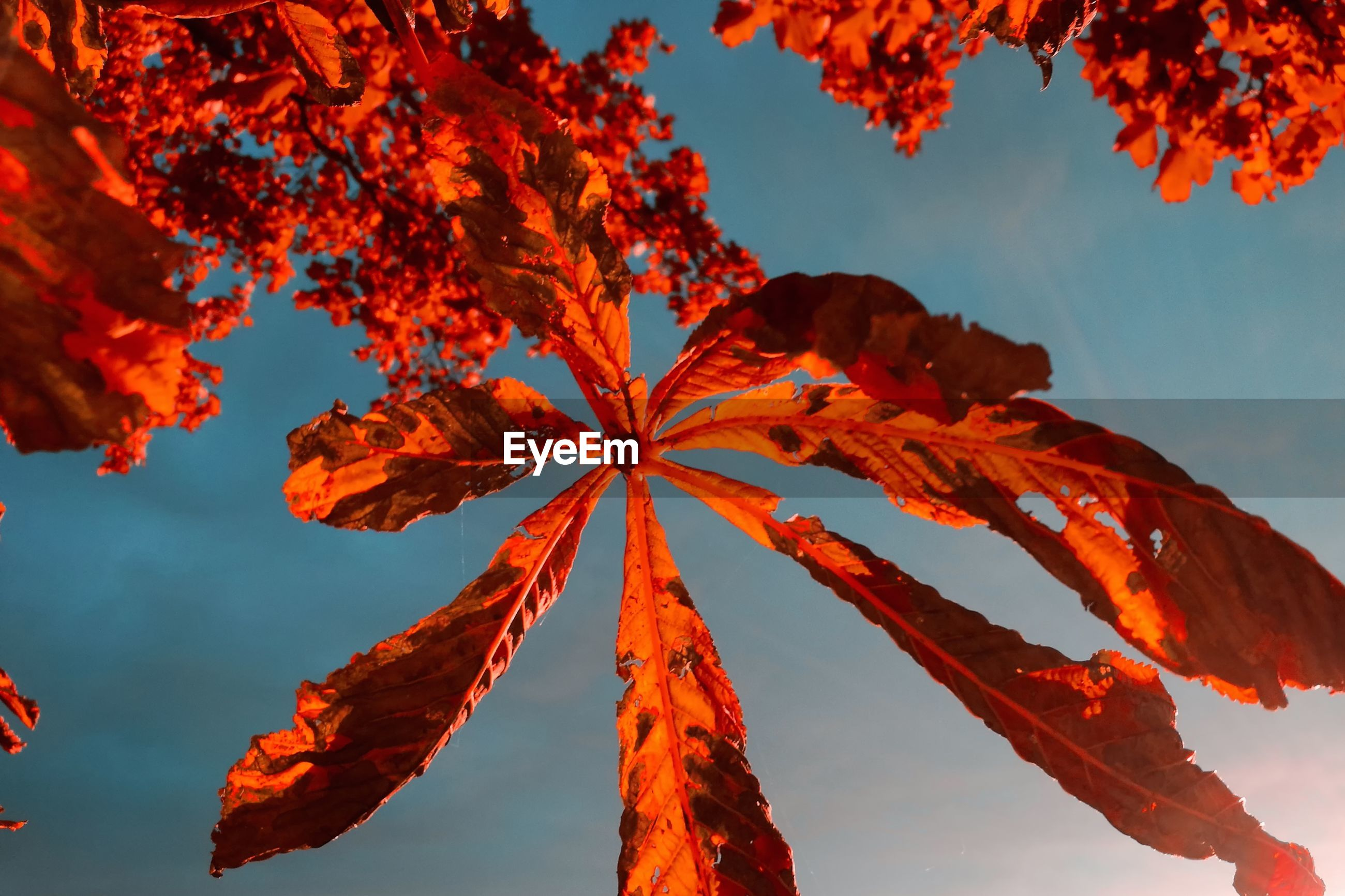 LOW ANGLE VIEW OF AUTUMN LEAVES AGAINST CLEAR BLUE SKY