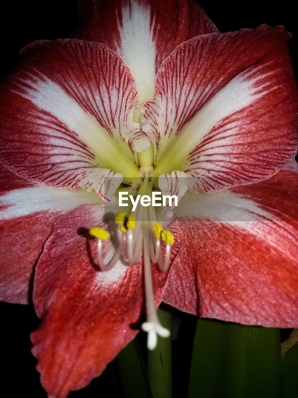 flower, petal, flower head, fragility, growth, beauty in nature, freshness, nature, plant, close-up, red, pollen, day, outdoors, stamen, no people, blooming, hibiscus, day lily