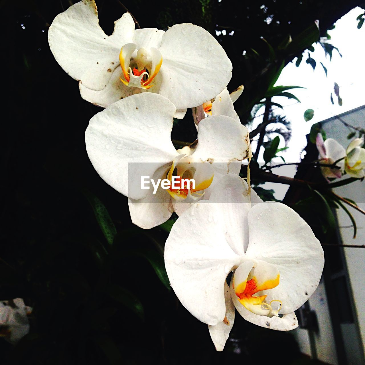 Close-Up Of White Orchids Blooming Outdoors